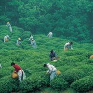 China_tea